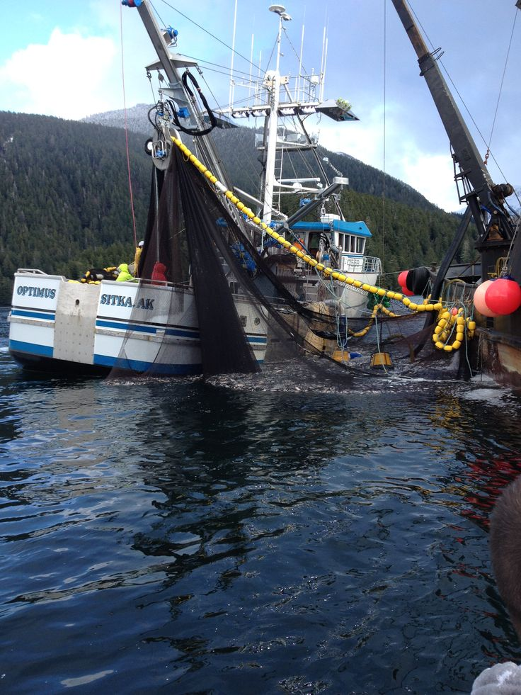 Big set from the f v optimus during sitka herring 2014 for What is commercial fishing