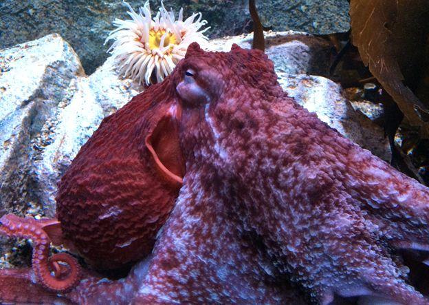 red octopus, Monterey Bay Aquarium