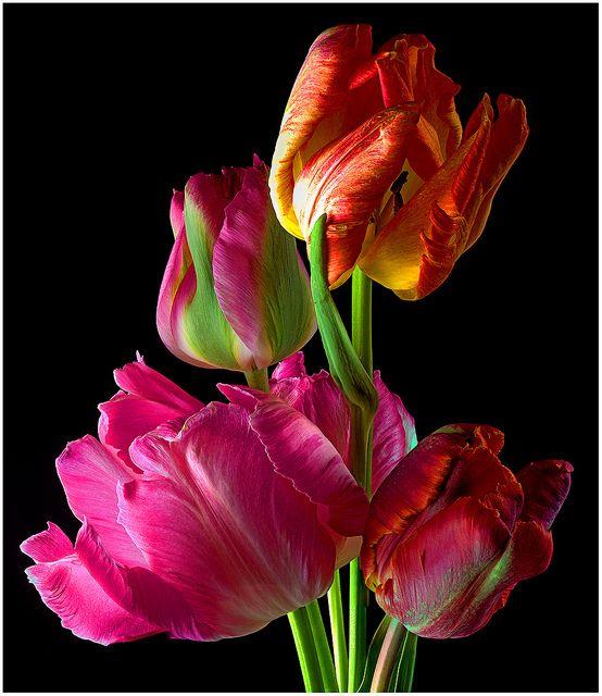 Parrot tulips (Tulipa cv.) #Flv35   Flickr - Photo Sharing!