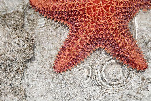 Betsy Knapp - Live Starfish Natural Habitat