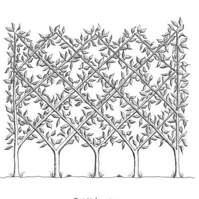 158 Best Espalier Images On Pinterest