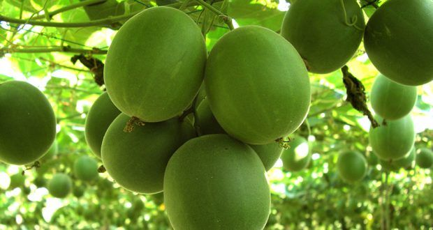 "(NaturalHealth365) Monk fruit, also known as luo han guo, has been a ""longevity fruit"" in China for ..."