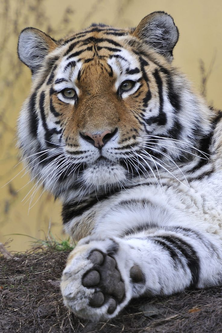 China is guilty of killing tigers for awful reasons.  I can't even repeat these these things.  A good reason to boycott anything made in China possible.