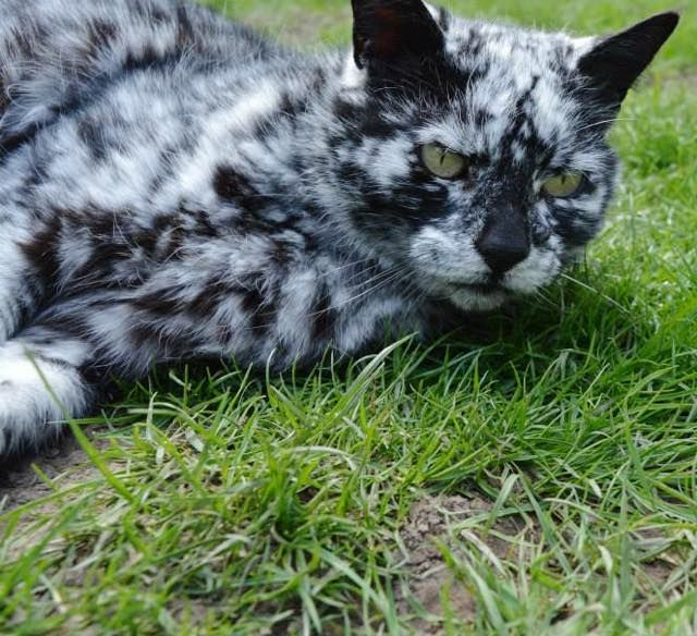 scrappy the cat images | scrappy the cat with extraordinary black and white markings patterns