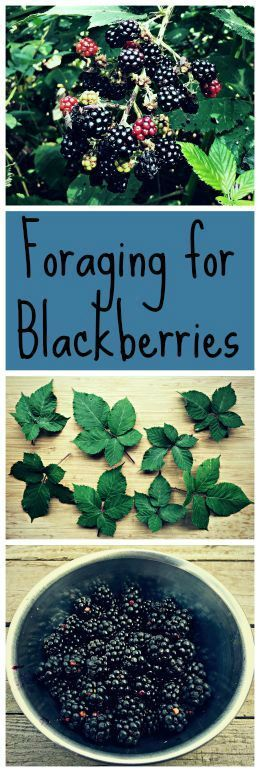 Blackberries are probably one of the easiest plants to forage for, with tasty berries and medicinal leaves!