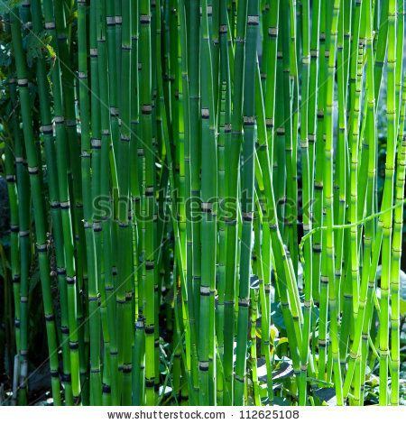 stock photo : Bamboo like looking, rough horse tail also known as scouring rush , or  snake grass (Equisetum hyemale) in spring.