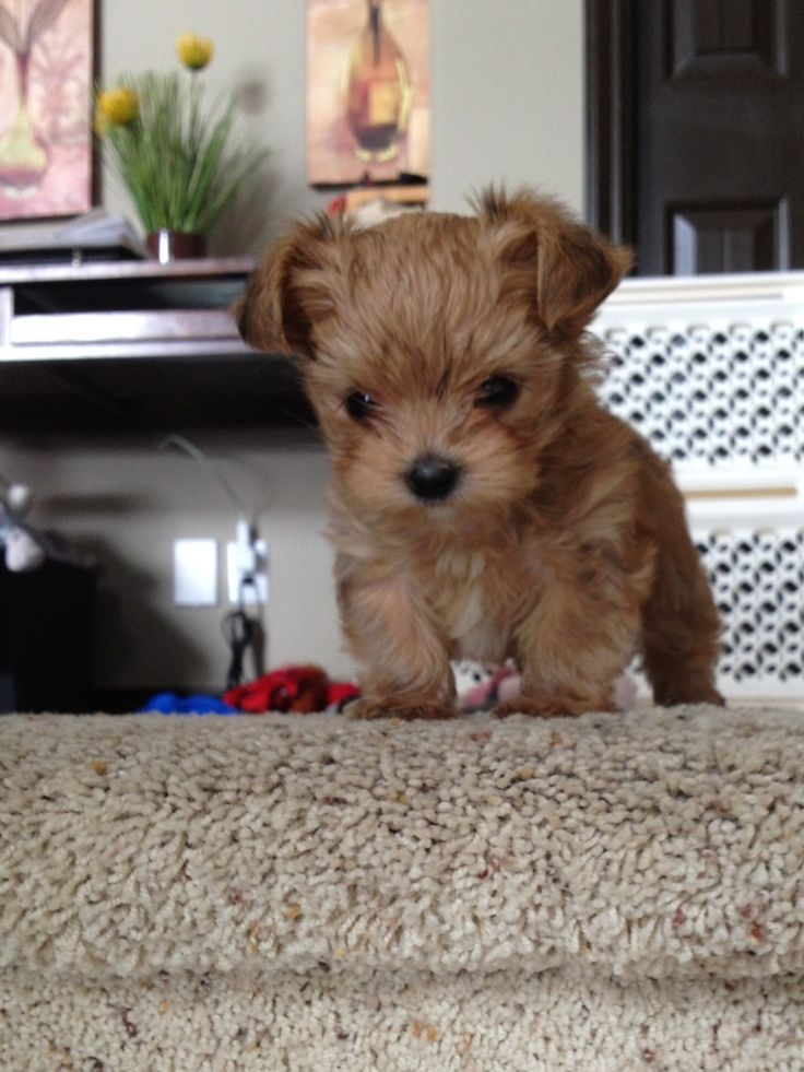 I want one when I go off to college!! Morkie puppy #cute #puppy #morkie