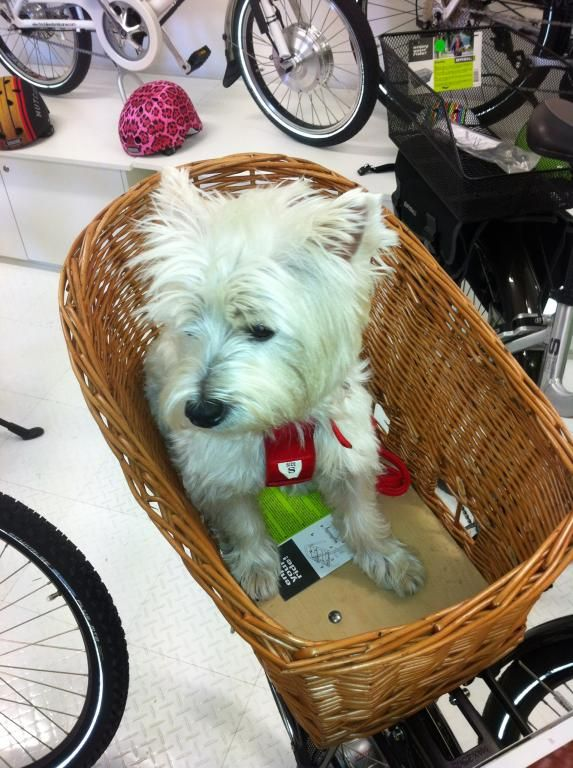 This little Westie tries out the dog basket for size. It comes complete with dog mat and safety cover, very comfortable and safe.