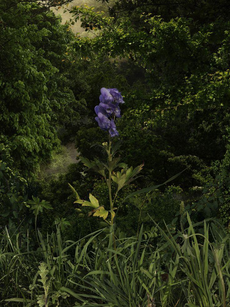Acónito. Fotografía de 70x52,5 cm 2009