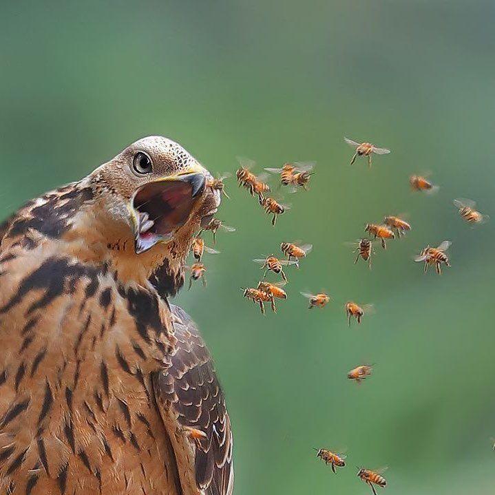 Honey buzzard catching prey! Photo by @joinus12345