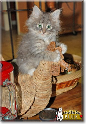 Read Blue the Maine Coon kitten's story from Lisle, Illinois and see his photos at Cat of the Day http://CatoftheDay.com/archive/2011/January/01.html .