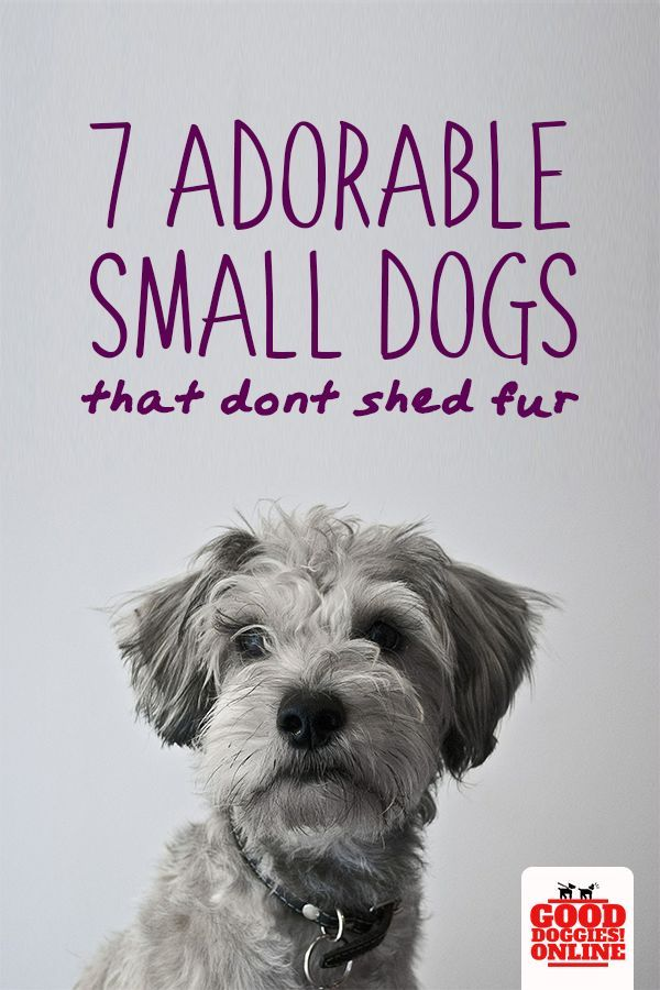 7 Adorable Non Shedding Small Dogs Dog Breeds Small Dogs Dog