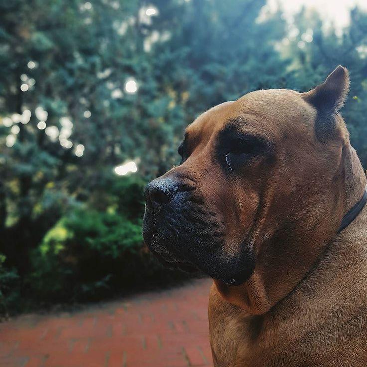 Bella The Dog Thug Life #bellathedog #presa #presacanario #pies #melancholia #apatia #acedia #nostalgia #sentymenty #dog #vscodog