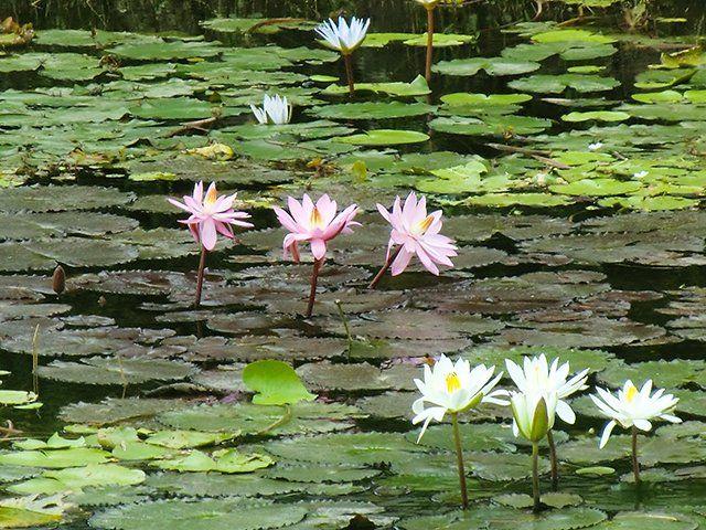 9/4(月)バリ島ウブドのお天気は曇り。室内温度25.7℃、湿度83%。なんだか肌寒い1日。昨日から雨が降ったり止んだりしています。花たちは雨のしずくを浴び、なんだか嬉しそう♪ #今日も良い日になりますように #バリ #ウブド #天気 #蓮 #ロータス