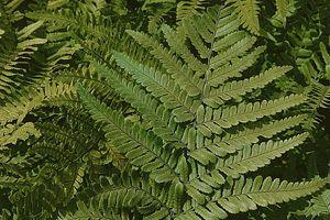Traiter et enrichir le jardin avec les plantes : 8 remèdes naturels - La fougère chasse les taupins