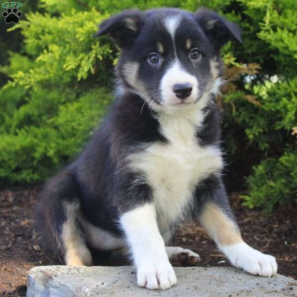Gracie Border Collie Puppy For Sale In Pennsylvania Border Collie Puppies Collie Puppies For Sale Collie Puppies