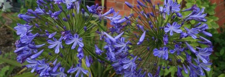 Plant Ident - Agapanthus 'Blue Giant'