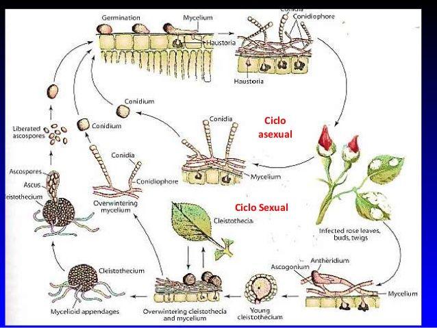 http://image.slidesharecdn.com/fitopatologialasoidiosis-141013021310-conversion-gate02/95/fitopatologia-oidium-13-638.jpg?cb=1413166737