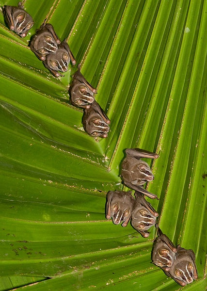 The Great fruit-eating Bat (Artibeus lituratus) is a bat species in the family Phyllostomidae from South and Central America. They are 10.5 g at birth and grow to 65 g as adults. (via: Wikipedia) (photo: Brian Gratwicke)