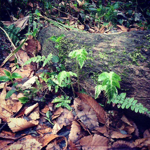 【meirin0415】さんのInstagramをピンしています。 《木の根っこに小さなシダ植物。新芽はとても強いエネルギーを発しています。 #Instagram #japan #Nature #Filicophyta #Healing #sunlight #plant #インスタグラム #日本 #自然 #シダ植物 #癒し #太陽の光 #植物 #森 #木の根っこ》