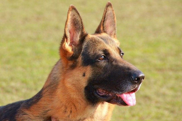 Cancer Sniffing Dog Breeds