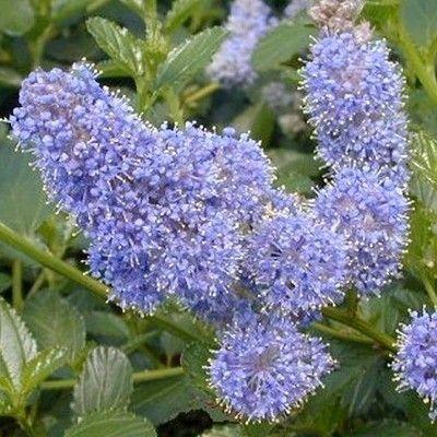 Ceanothe rampante à petites fleurs Arbuste rampant à croissance rapide, la Ceanothe 'Repens' possède une végétation compacte de 50cm par 1m. Son feuillage persistant donne de petites feuilles vertes foncées et brillantes. La floraison, très florifère, donne une multitude de petites fleurs bleues réunies en panicules, d'avril à juin. Une exposition ensoleillée à mi-ombragée est conseillée avec tous types de sols mais fertile et bien drainé de préférence.