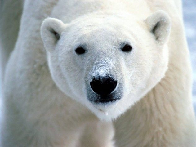 11 'cool' facts about polar bears. Polar bears are my favorite animal