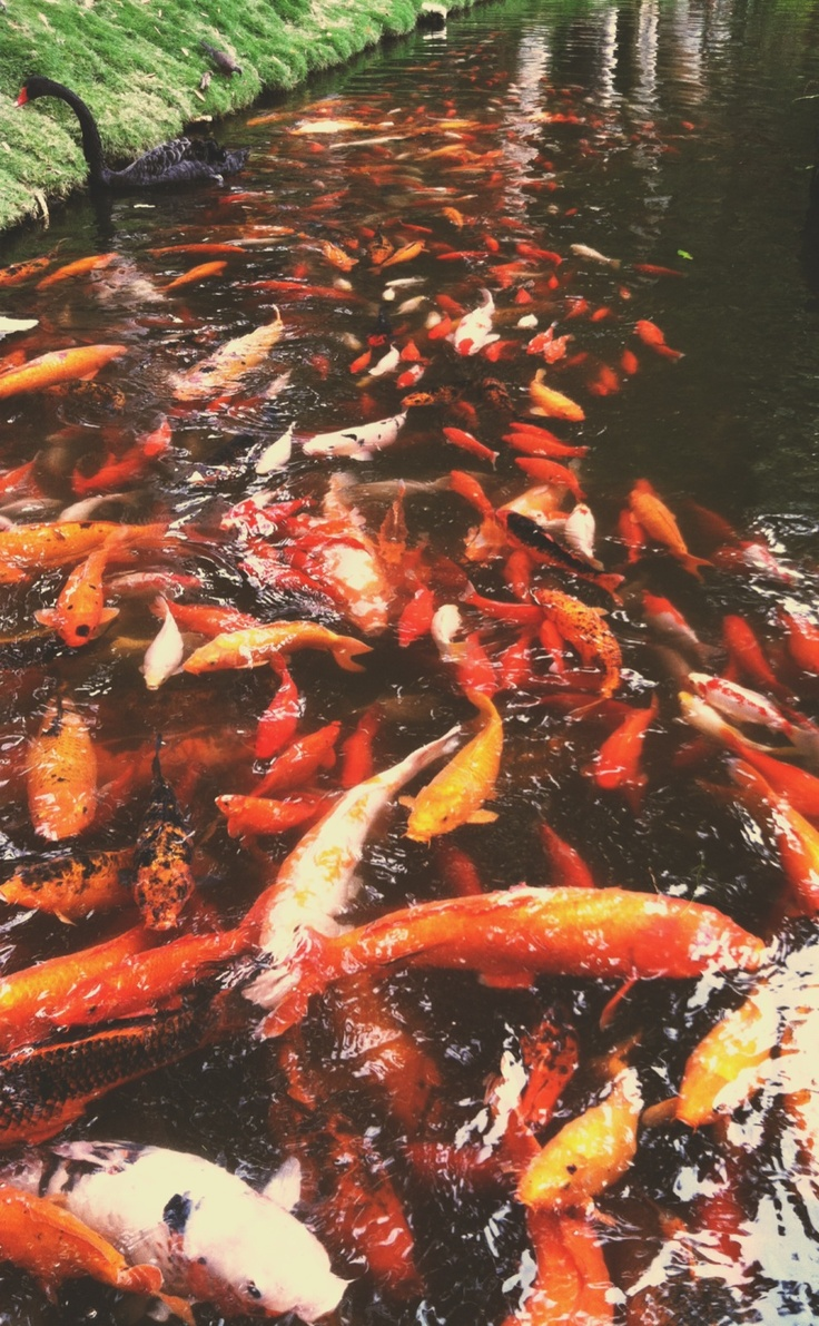 50 best beautiful koi ponds images on pinterest water for Koi fish in pool
