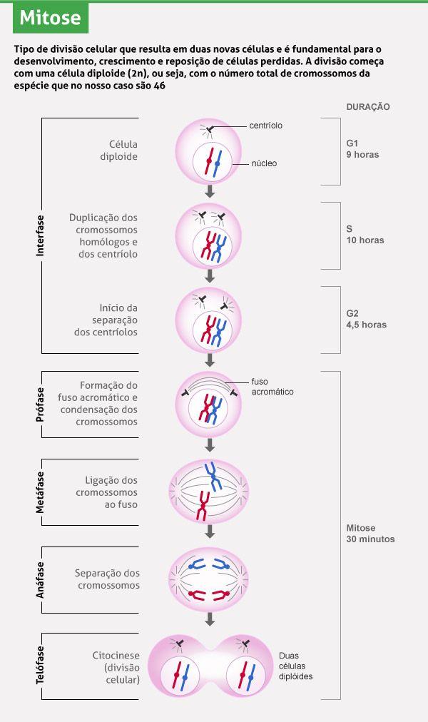 Mitose e meiose: Os dois processos de divisão celular - Pesquisa Escolar - UOL…