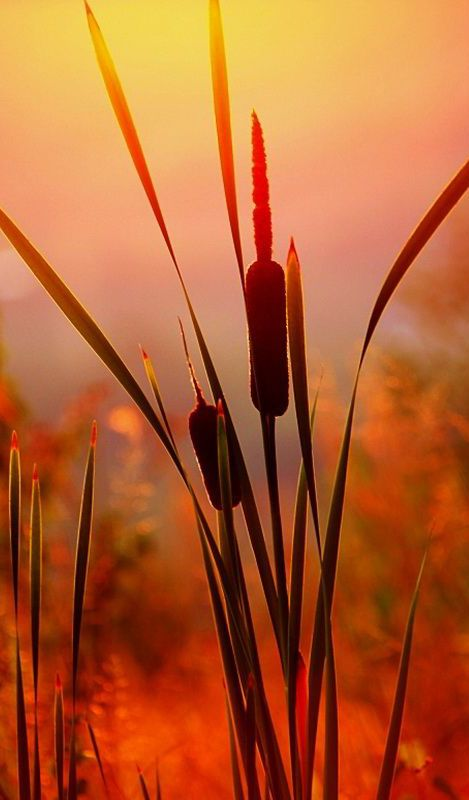 Cat-tails in the morning glow.