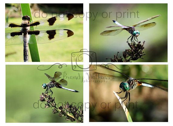 Four dragonfly insect nature photography 4x6 by bwatkinsphoto, $12.00