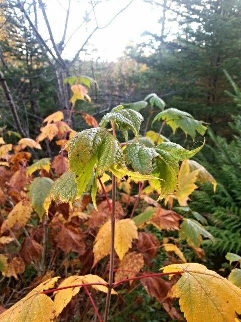 Fall Leaves... Salmonier Nature Park!