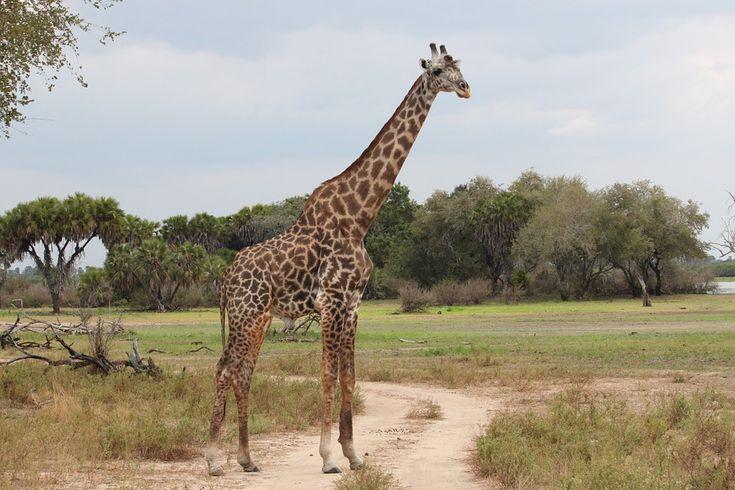 Žirafa, Příroda, Safari, Afrika, Rezervní Fond
