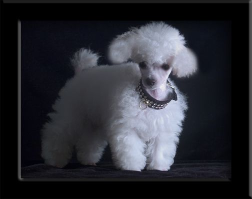 the TOY POODLE-  the poodle comes in many sizes- the standard, toy, and giant. the toy is my favorite because it isn't very active and will love curling up with you on a lazy day.