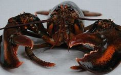 How to Breed Freshwater Lobsters #stepbystep