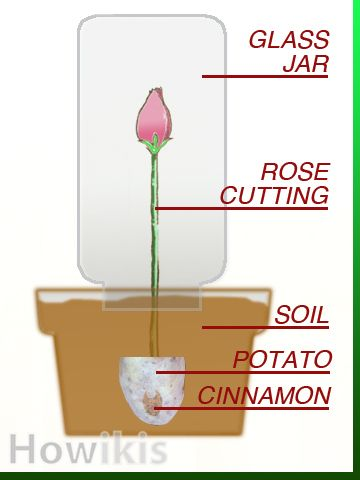 Propagate Roses Using Organic Materials as Root Hormone Which Everyone Has In Their Cupboards: Cinnamon and Potatoes - VisiHow
