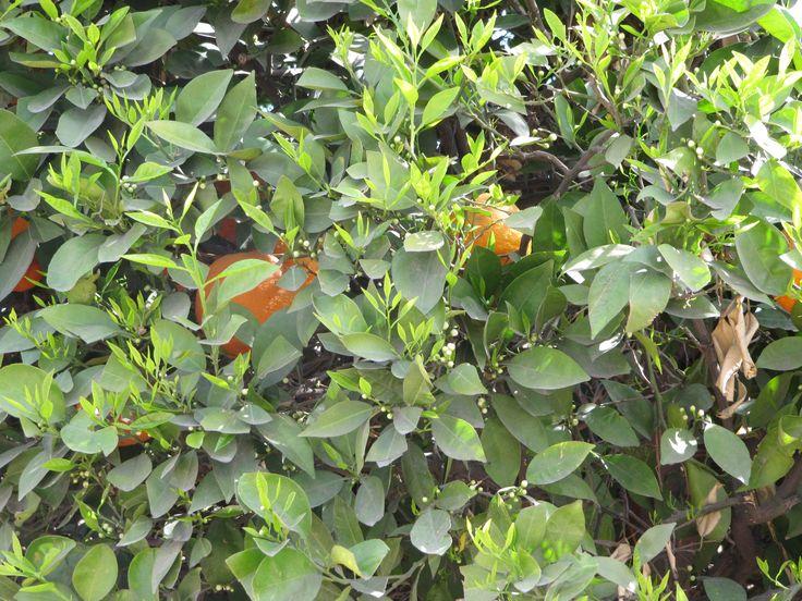 Appelsiinipuu ja ihanat tuoksuvat kukat