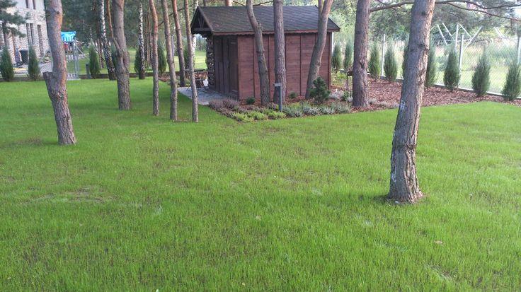 Wschodząca trawa.
