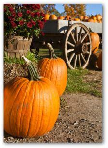 Growing Pumpkins, Planting Pumpkins, How to Grow Pumpkins