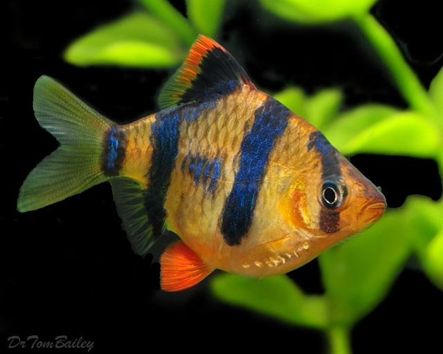 217 best images about fish barbs on pinterest for Black and white striped fish freshwater