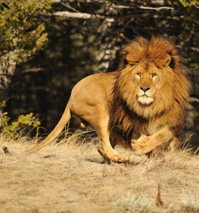 Pin By Silver Bullet On Animals Wild Cats Beautiful Creatures Male Lion