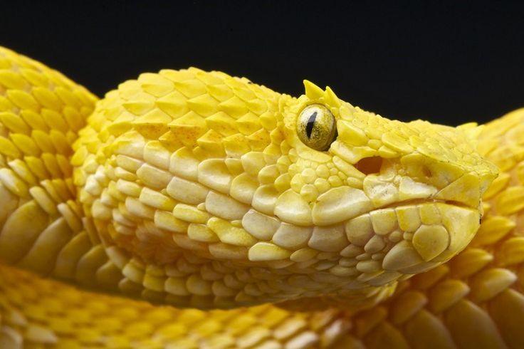 Cobra-de-pestana