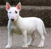 Afbeeldingsresultaat voor grote hondenrassen kortharig