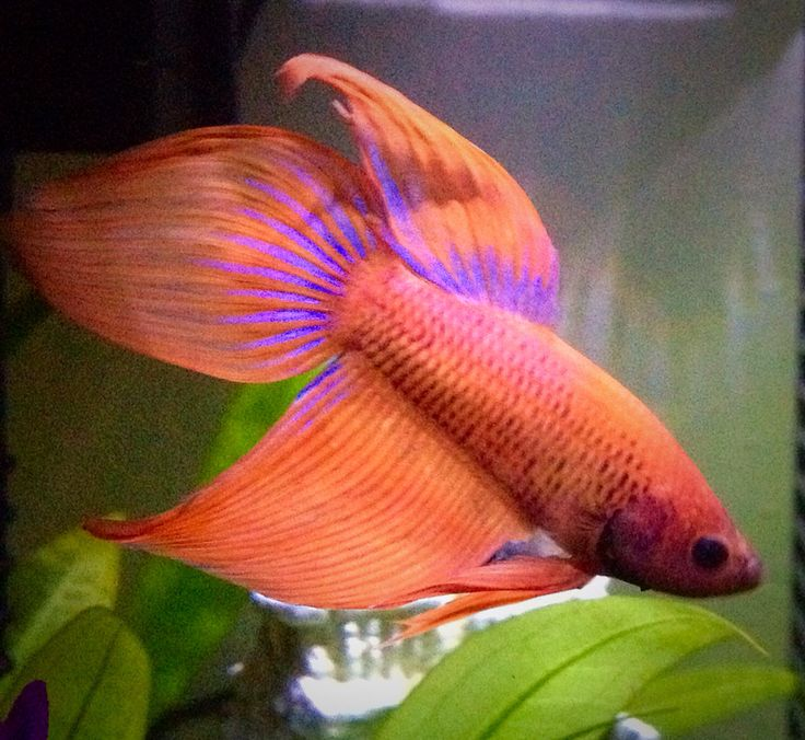 17 best images about veiltails on pinterest betta fish for Betta fish personality