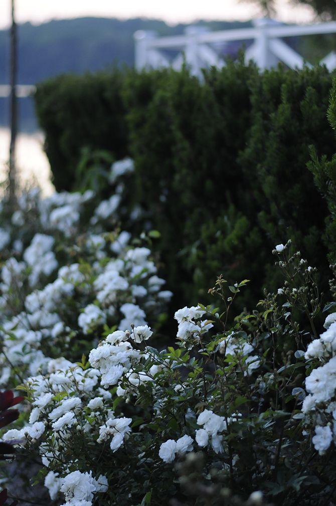 Katarina zeimet. Vit ros med svag doft som blommar hela sommaren enligt viktoria på zetas