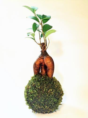 苔玉(ガジュマル) - tito mossball, BONSAI