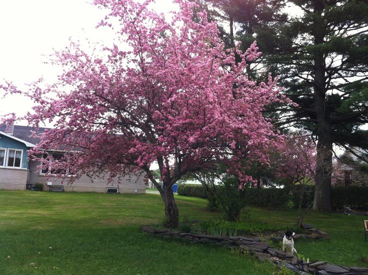 Flowering grab apple tree.
