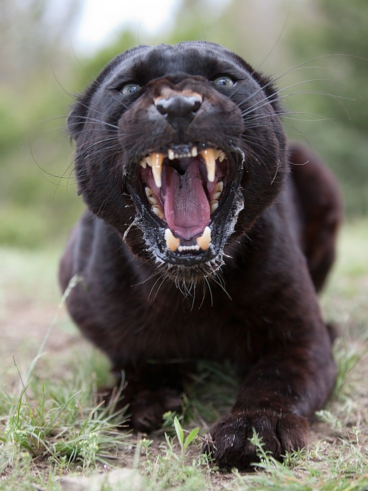 Смешная пантера картинки