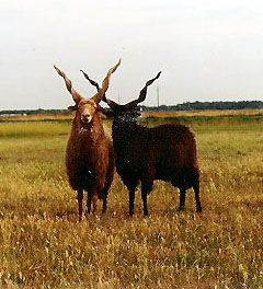 Racka Sheep is a unique breed with both ewes and rams possessing long spiral shaped horns.The breed comes from Hungary and is used for milk, wool and meat production. Mature males may have horns as long as two feet or more. The cork-screw horns protrude almost straight upward from the top of the head.