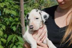 Purebred Great Dane Puppies - Price Reduced | Great Dane puppies for sale Gulgong New South Wales | Great Dane dogs in Australia - www.pups4sale.com.au/dog-breed/438/Great-Dane.html